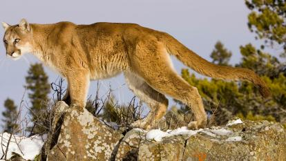 Mountain Lion attacks man and he kills man.