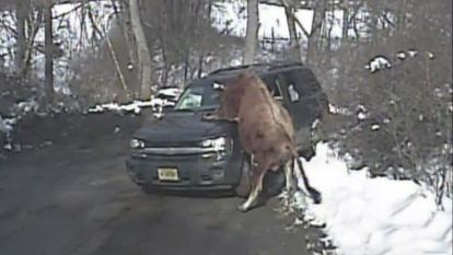 The owner got out of her car and was trying to coax the animal with food but the bull opted to mount her car.