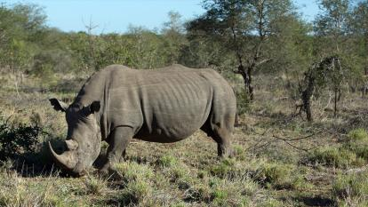 A rhino in Kruger National Park, South Africa