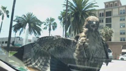 A hawk hitched a ride on a car in Los Angeles.