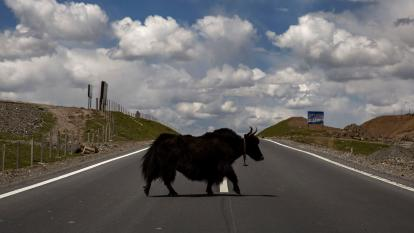 Yak Escapes Trailer on the Way to the Butcher