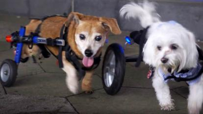 Dogs in wheelchairs spend the afternoon rolling around for an event to raise money for animal rescues.