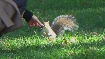 Inside Edition found videos posted all over online showing squirrels climbing up people's legs, jumping at people and even chasing them.