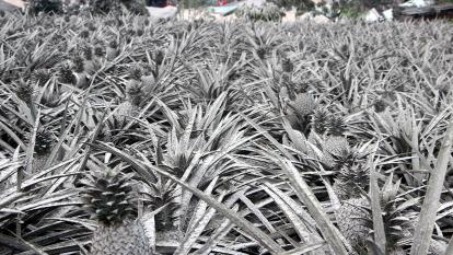 Pineapples have been covered in ash.