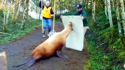 Sea Lion being detained