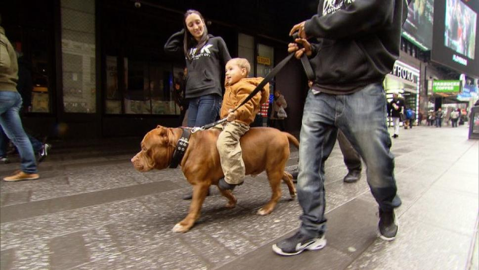 Three-Year-Old Rides 175-Pound Pit Bull Like A Pony And