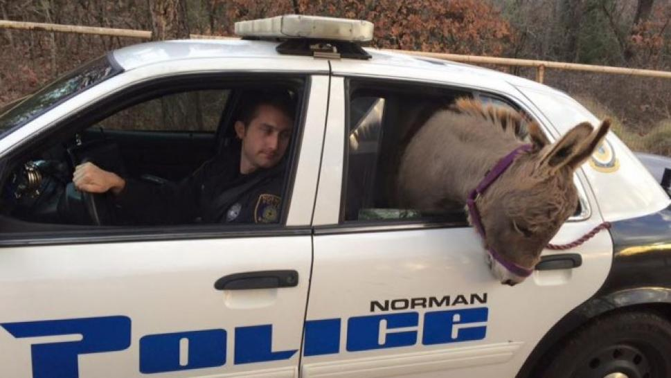 Officer Drives Miniature Donkey to Safety in Back of ...