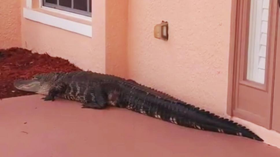 A Florida homeowner reported an alligator had somehow sauntered up to their doorstep.
