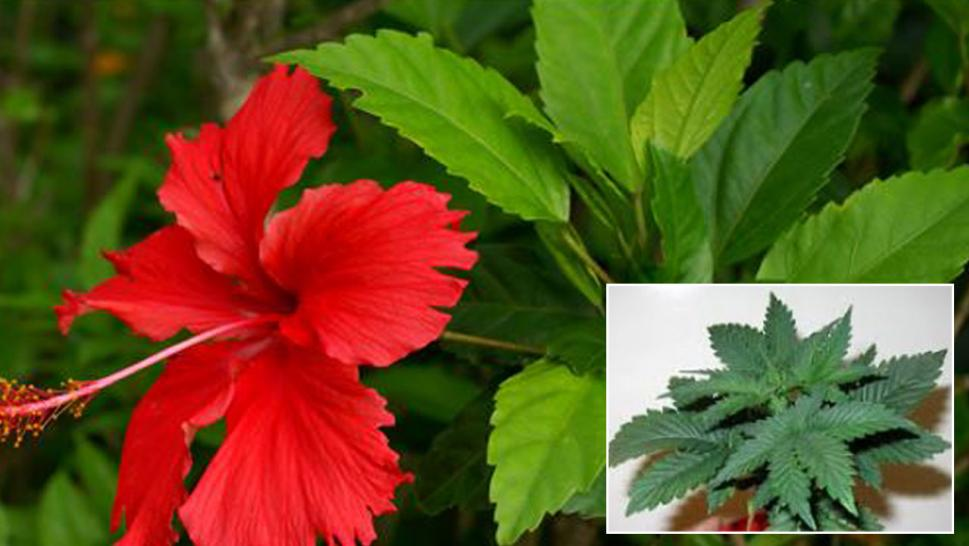 Cops mistake hibiscus plant for pot