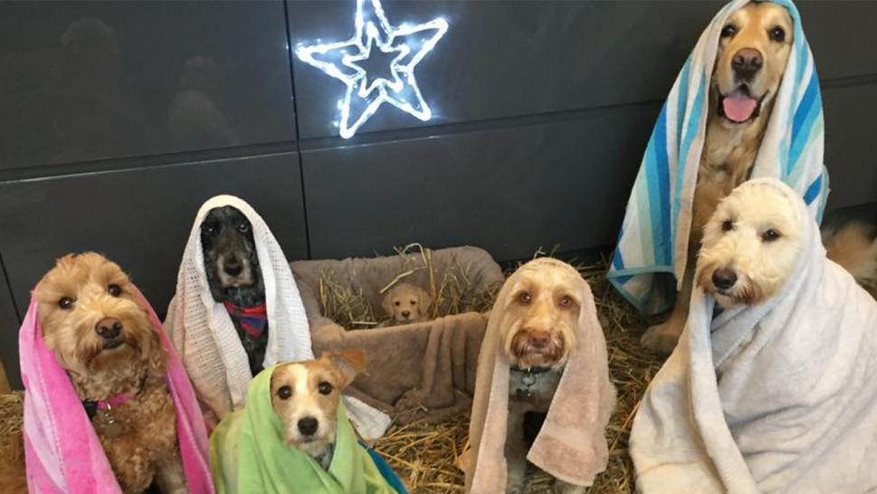 Seven very good pups pose for a dog groomer's nativity scene.