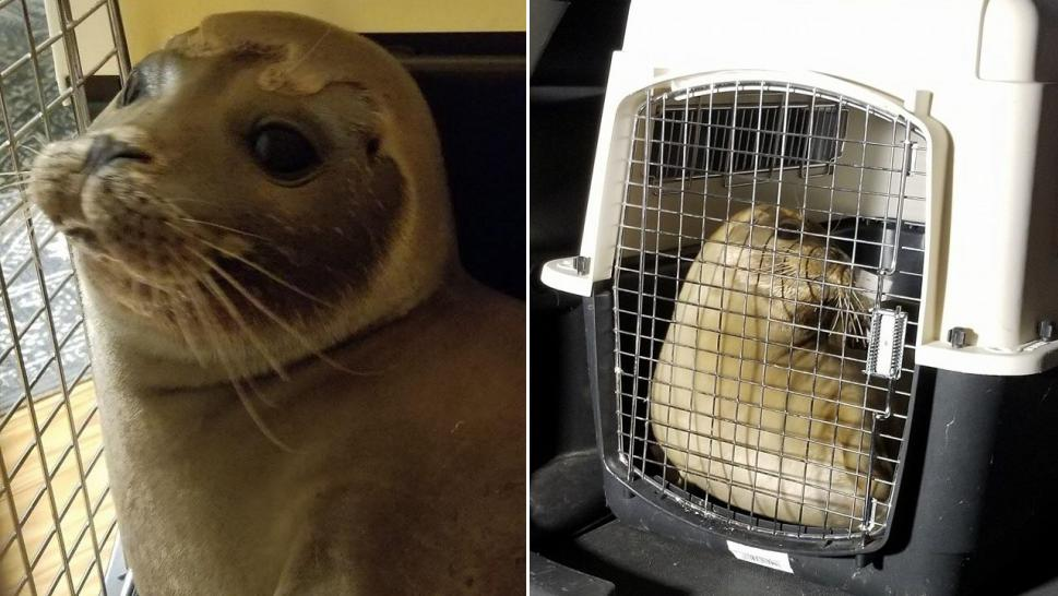 Police help capture baby seal found wandering on busy road
