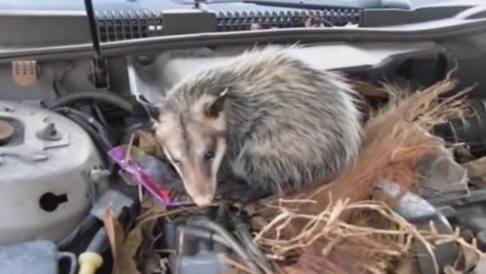 Car Creatures: The Animals That May Be Lurking Under the ...