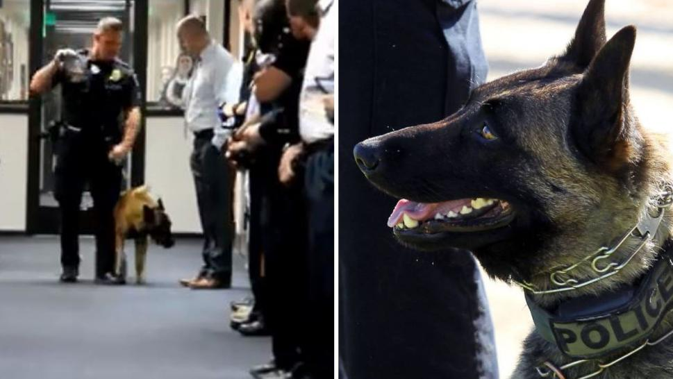 Bronx the K9 officer served the Bakersfield Police Department for eight years.