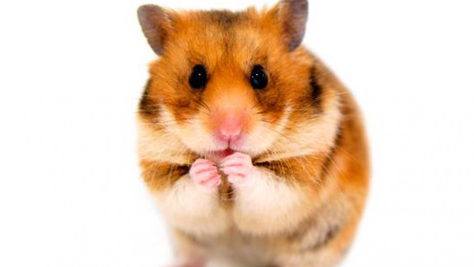Woman flushed emotional support hamster down toilet after Spirit Airlines banned it