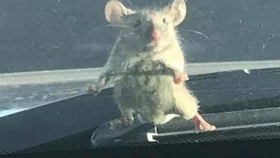 A mouse tried to hitch a ride on a cop car.
