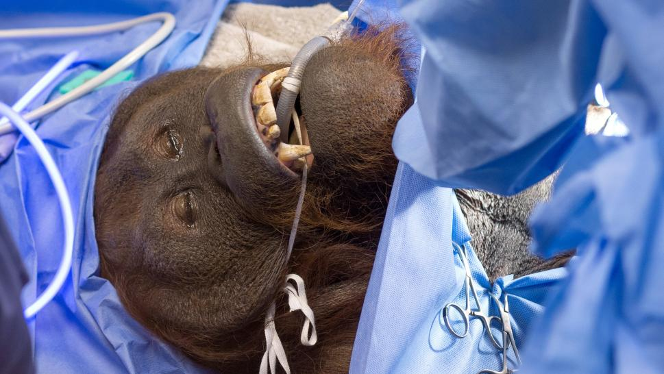 Daniel, the Bornean orangutan, undergoes sinus surgery for a reoccurring respiratory infection.