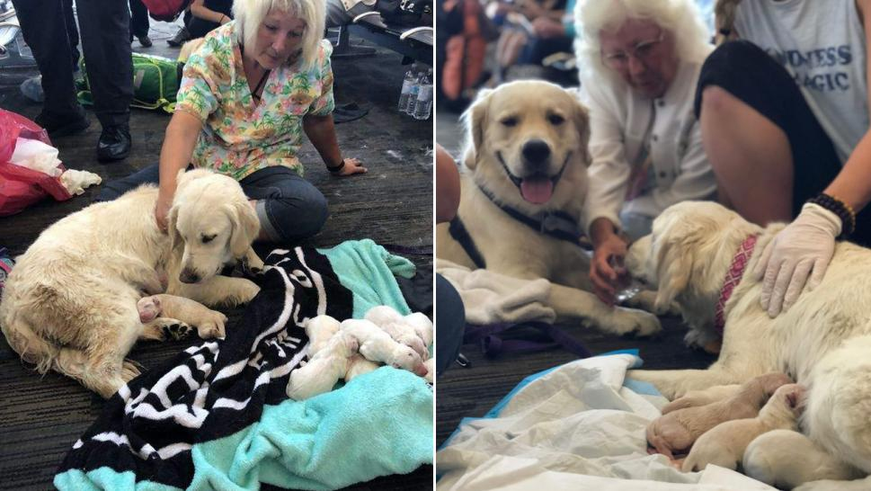 Service Dog Delivers 7 Puppies at Tampa International Airport