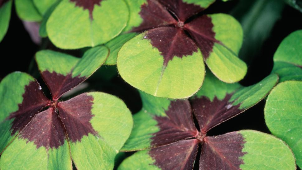Virginia Girl 10 Sets Record For 4 Leaf Clover Hunting Without
