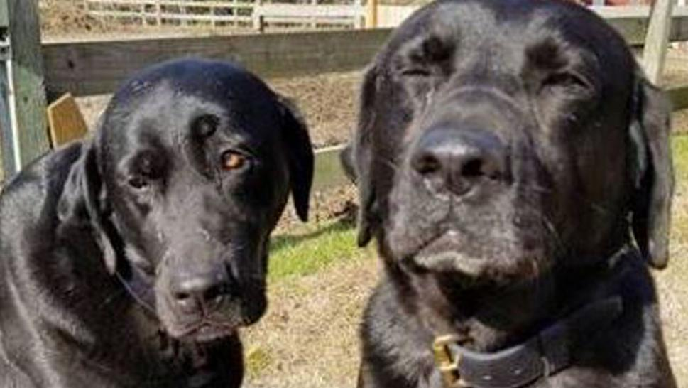 Brothers Bear and Bull, black lab-mastiff mixes with a zeal for adventure, had been caught red-handed devouring their mail carrier's lunch.