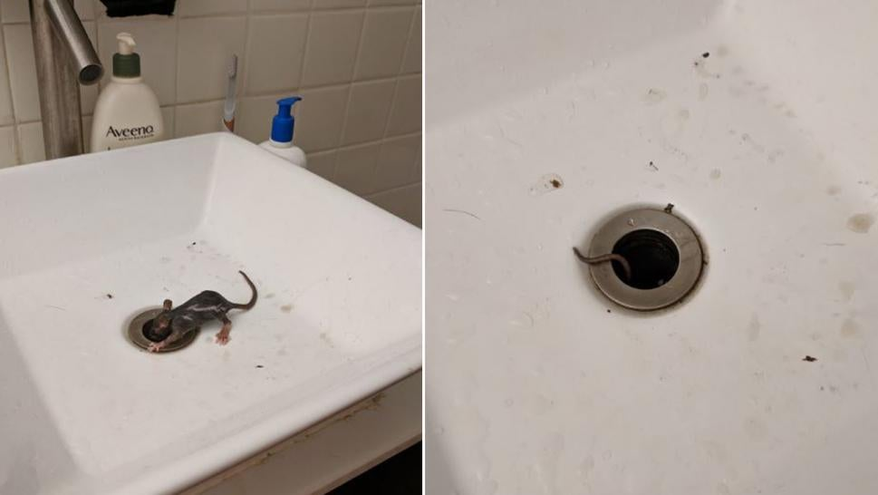 This critter climbed out of a New York City bathroom sink.