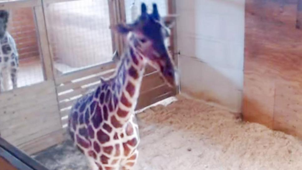 Oh, boy: April the Giraffe gives birth again