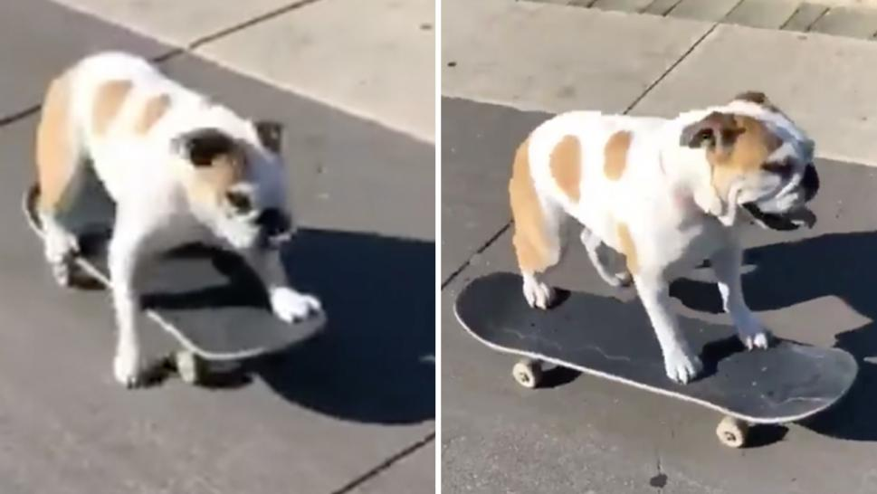 Rey the bulldog steals a skateboard and rides it up and down the boardwalk.