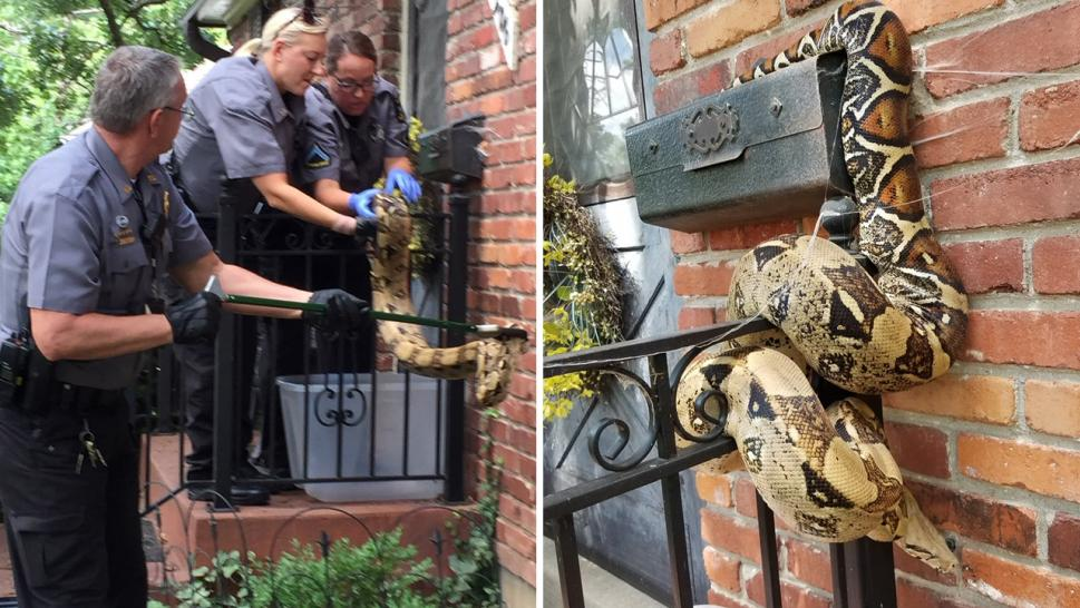 Mailman finds python near mailbox in Overland Park