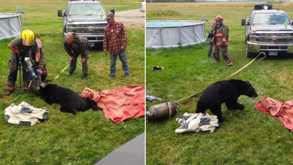 It took the jaws of life to free this bear from a milk can.