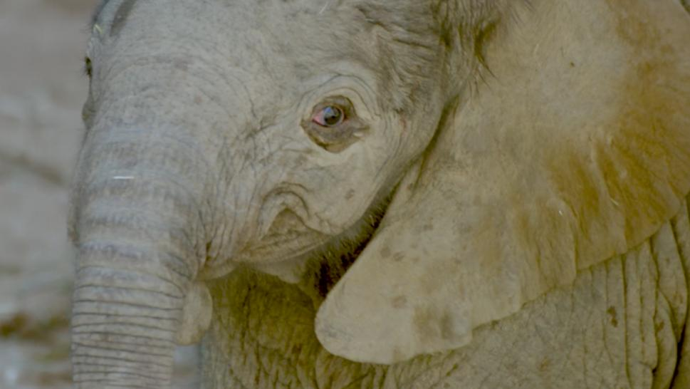 Hefty elephant born at San Diego Zoo