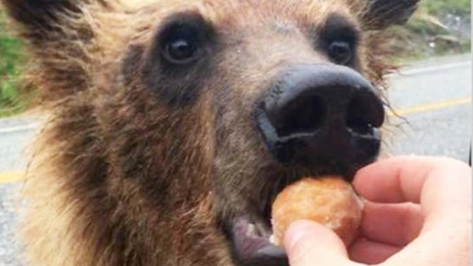A grizzly bear is seen in a viral photo being fed sweets.
