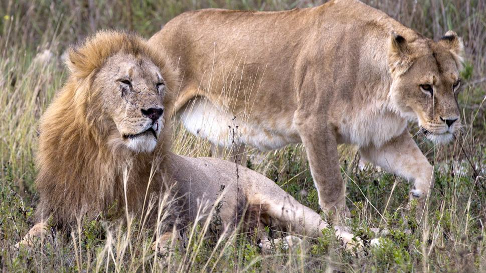 A lion and a lioness in a file photo.