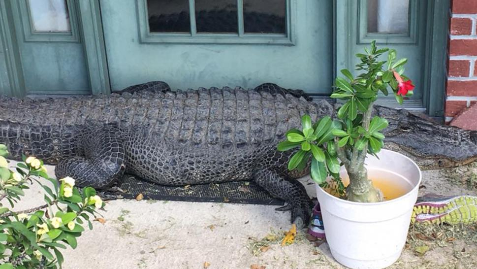 Hulking Alligator Cozies Up To Louisiana Home S Front Door Inside