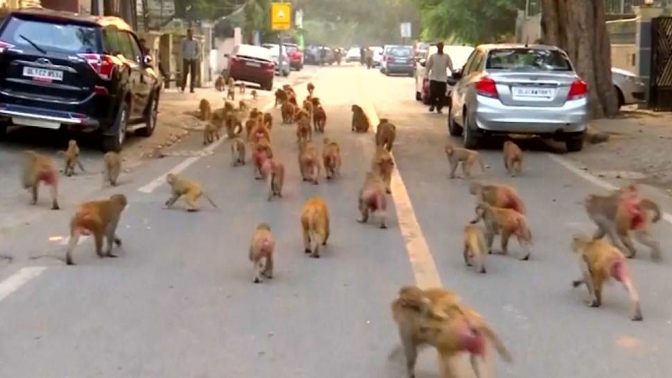 Monkeys on a city street
