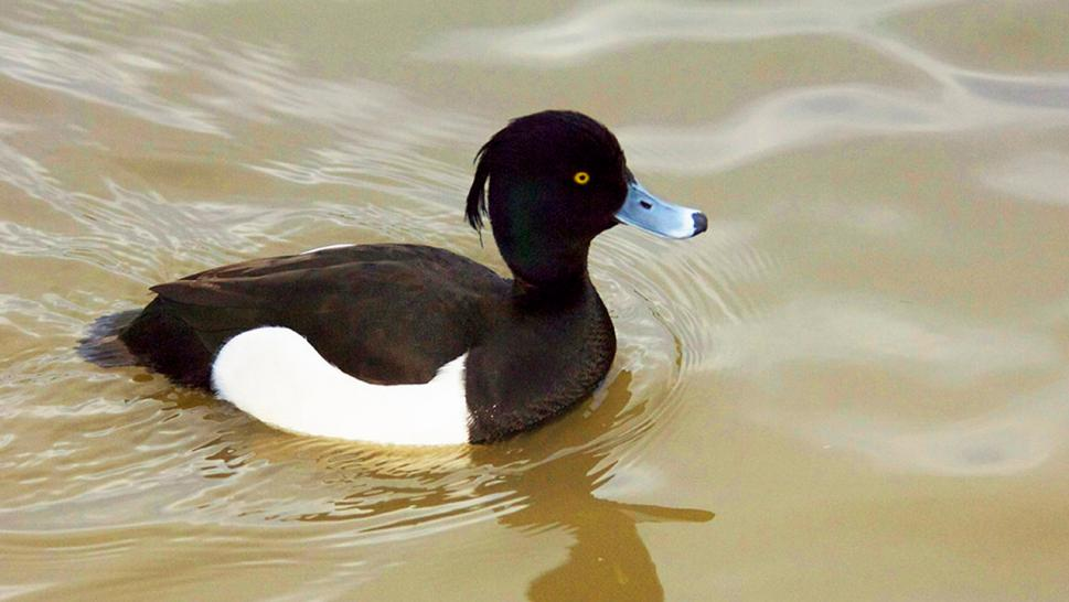Tufted ducks are considered rare everywhere except western Alaska, according to the National Audubon Society.