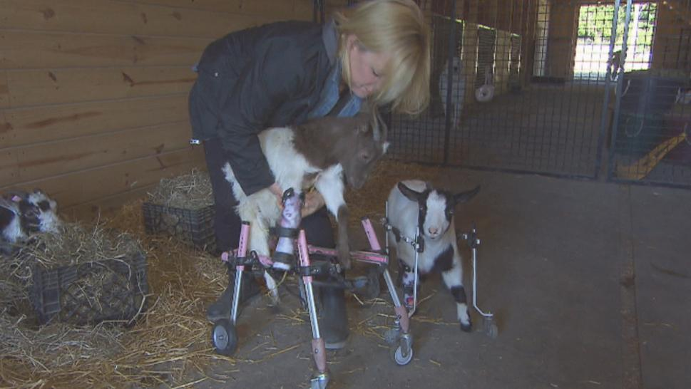 Leanne Lauricella traded in a cushy six-figure job as a corporate events planner to raise special needs goats at her sanctuary in New Jersey.