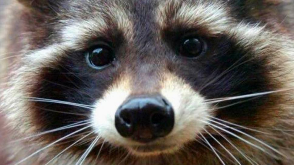 Oreo the Raccoon