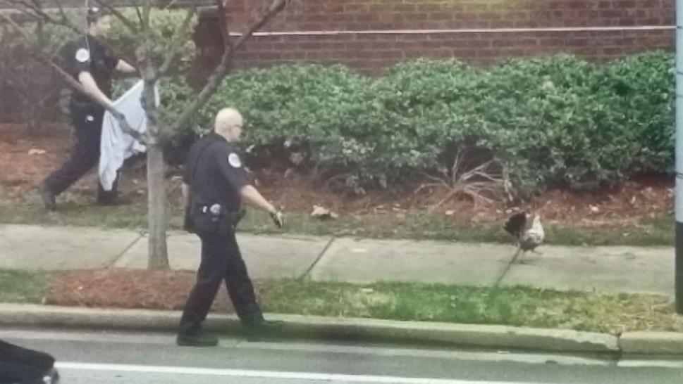 Police Catch Loose Chicken With an Oatmeal Creme Pie in Nashville