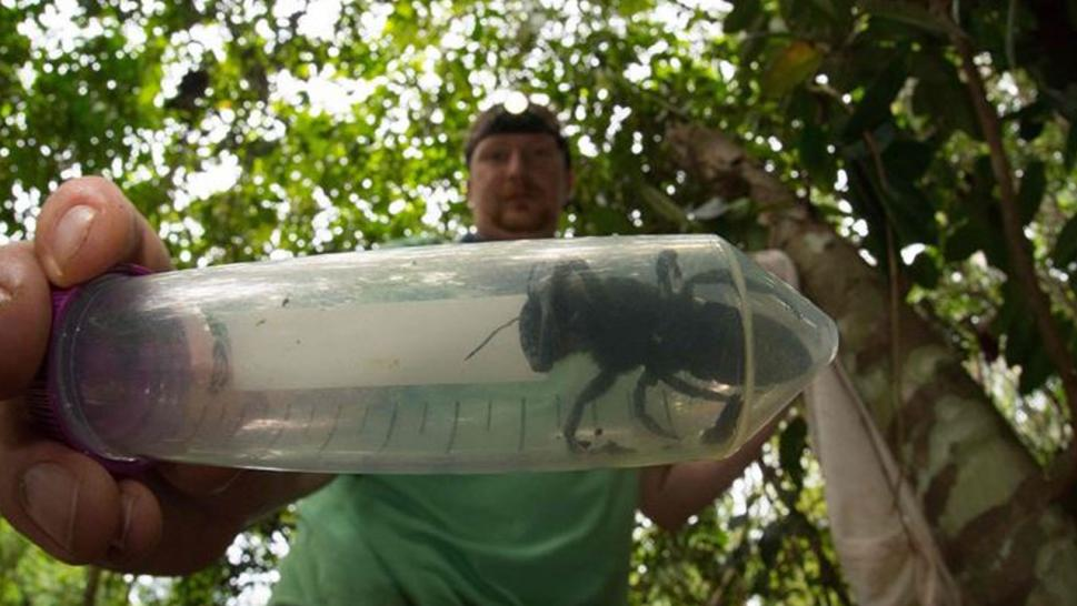 World's larges bee has been rediscovered in Indonesia.