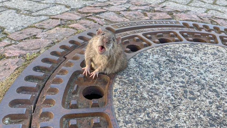 Rat stuck in Germany