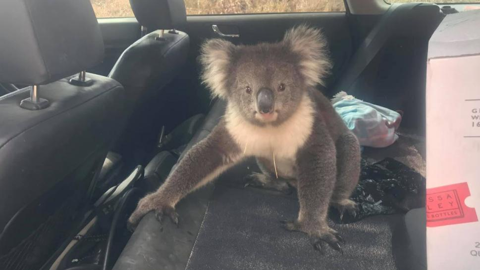 Koala Bear Refuses to Leave Air Conditioned Car