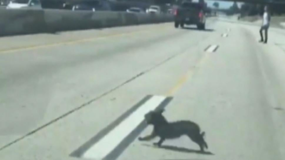 A dog went on the run of its life across a California freeway.