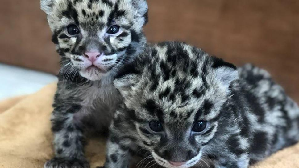 Ohio Zoo Shares a Peek at Brand New Clouded Leopards