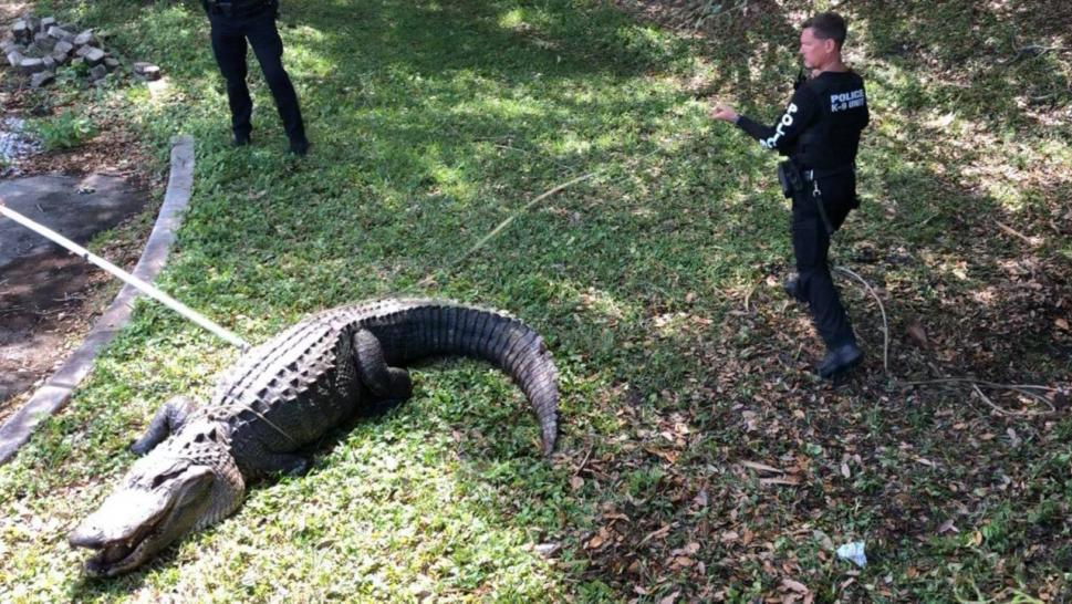 Jupiter Police officers wrangle a large alligator.