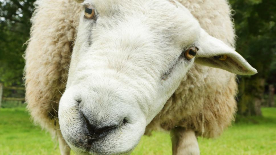 File photo of a sheep