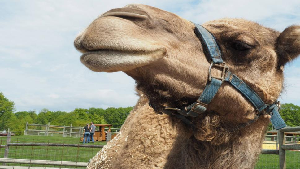 Jeffrey the camel went shopping with his owner, Scott Lewis, in Michigan.