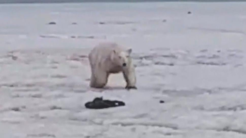 A polar bear scavenges for food in Russia.