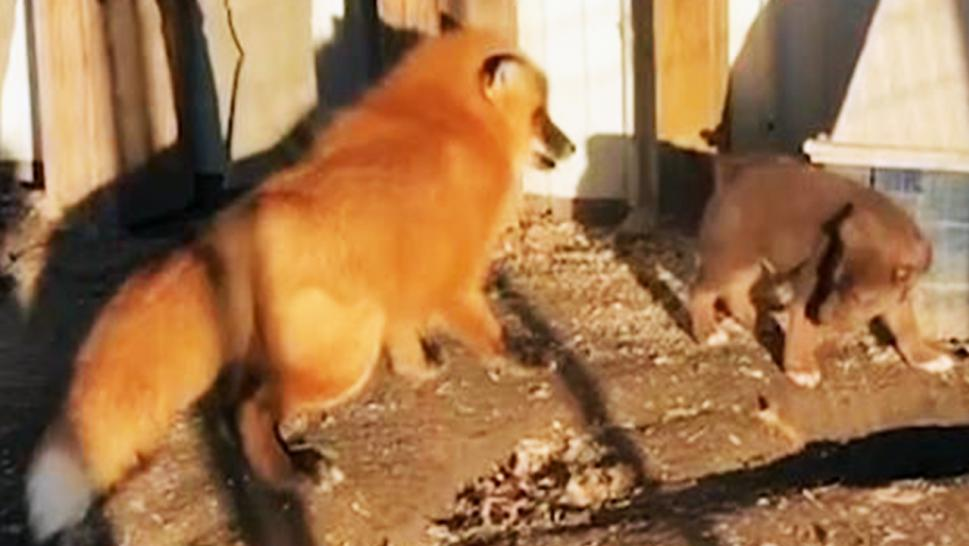 Phoenix the fox and Copper the puppy spend all day long chasing each other around their pens.