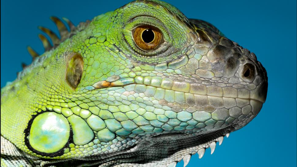 File photo of an iguana