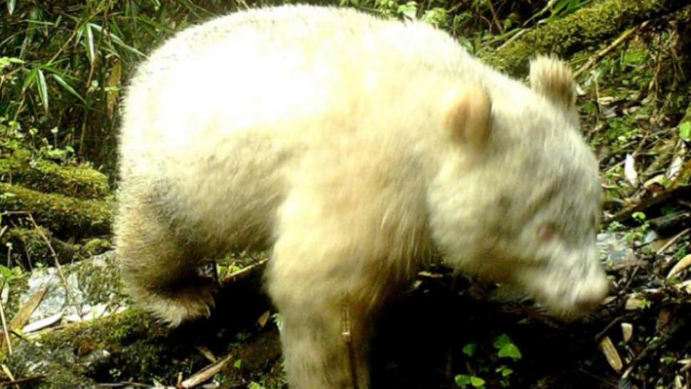 A rare albino panda was captured on camera in the wild for the first time ever.