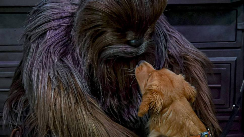Service Dog Gets Special Meeting with Chewbacca